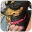 Photo 1 - Chihuahua Dog for adoption in Phoenix, Arizona - Lola