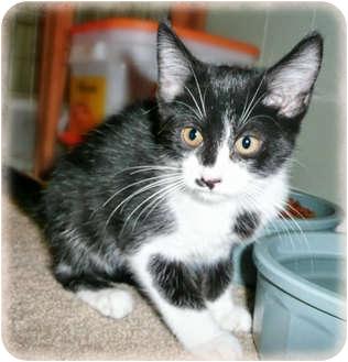 Domestic Shorthair Kitten for adoption in Brighton, Michigan - Alba