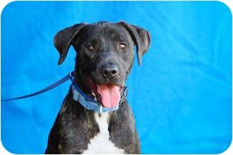 Labrador Retriever Mix Dog for adoption in Burbank, California - Bean - FAMILY DOG!!