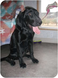 Labrador Retriever/Hound (Unknown Type) Mix Dog for adoption in Rock Springs, Wyoming - Fergie