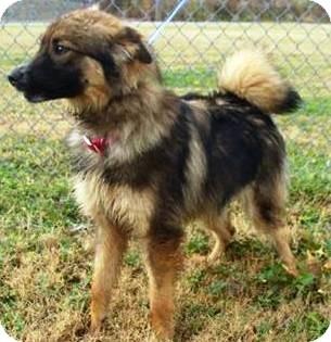 Finnish Lapphund/Spitz (Unknown Type, Small) Mix Puppy for adoption in Oswego, Illinois - Thelma