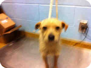 Terrier (Unknown Type, Small) Mix Dog for adoption in Las Vegas, Nevada - Drake