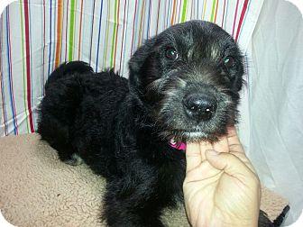 German Wirehaired Pointer/Labrador Retriever Mix Puppy for adoption in Ogden, Utah - Echo