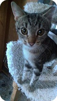 American Shorthair Kitten for adoption in Tampa, Florida - Larry