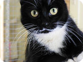 Domestic Shorthair Cat for adoption in Quincy, California - Got milk?