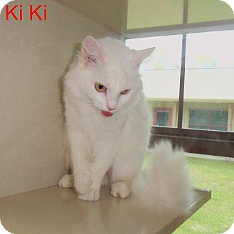 Domestic Longhair Cat for adoption in Slidell, Louisiana - Ki Ki