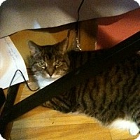 Adopt A Pet :: Victoria - Warren, MI