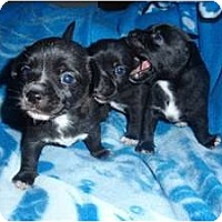 Adopt A Pet :: Chiweenie Babes - Kingwood, TX