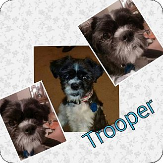 Shih Tzu Mix Dog for adoption in Urbana, Ohio - trooper