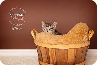 Domestic Shorthair Kitten for adoption in Medford, New Jersey - Blitzen