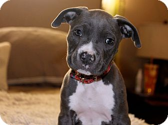 Pit Bull Terrier Mix Puppy for adoption in Los Angeles, California - Snow Bunny