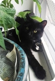 Domestic Shorthair Cat for adoption in Vancouver, British Columbia - JJ