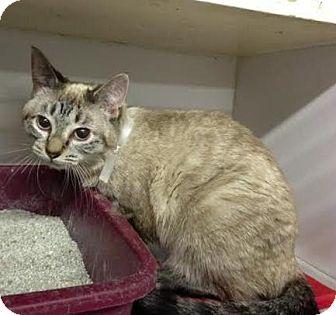 Siamese Cat for adoption in Manhattan, New York - Midge
