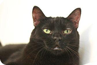 Domestic Shorthair Cat for adoption in Canoga Park, California - Geneva