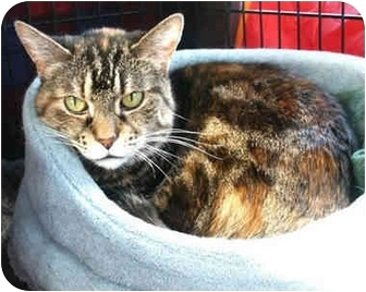 Domestic Shorthair Cat for adoption in Palatine, Illinois - TINSEL