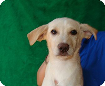 Golden Retriever/Labrador Retriever Mix Puppy for adoption in Oviedo, Florida - Razz
