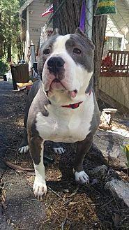 Pit Bull Terrier Dog for adoption in Crestline, California - Sherman