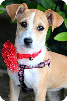Terrier (Unknown Type, Small) Mix Puppy for adoption in South El Monte, California - Tamera