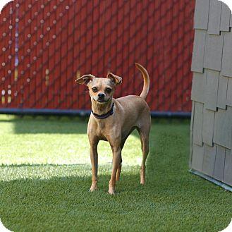 Chihuahua Mix Dog for adoption in Coronado, California - Macy