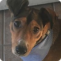 Shepherd (Unknown Type)/Cattle Dog Mix Dog for adoption in BONITA, California - Bandit