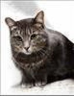 Domestic Shorthair Cat for adoption in Freeport, New York - Pie