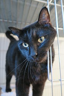 Domestic Shorthair Cat for adoption in Orlando, Florida - Spike
