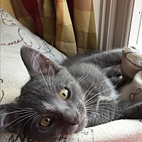 Domestic Shorthair Kitten for adoption in Fort Worth, Texas - Beau