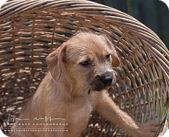 Terrier (Unknown Type, Medium) Mix Puppy for adoption in Oxford, Connecticut - Throttle