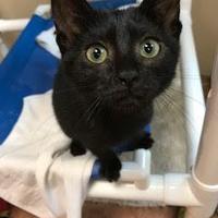 Domestic Shorthair/Domestic Shorthair Mix Cat for adoption in Miami, Florida - Nia