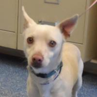 Chihuahua Mix Dog for adoption in Bakersfield, California - 154104