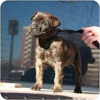 Boxer/Shar Pei Mix Puppy for adoption in Denver, Colorado - Lulu