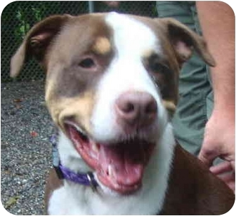 American Bulldog/Greater Swiss Mountain Dog Mix Dog for adoption in BRIDGEPORT, Connecticut - Rocco