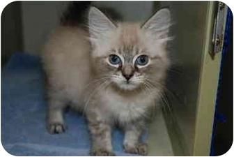 Ragdoll Kitten for adoption in Putnam Hall, Florida - Oliver