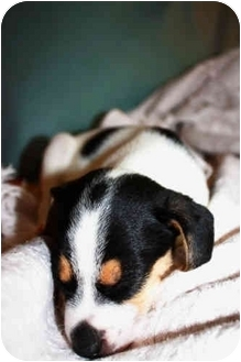 Jack Russell Terrier Puppy for adoption in San Antonio, Texas - JRT Puppy