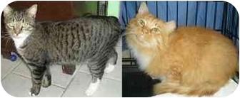 Domestic Longhair Cat for adoption in Medford, Massachusetts - Ernie