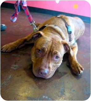 American Pit Bull Terrier Mix Dog for adoption in Portland, Oregon - Riley