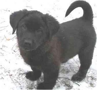 Labrador Retriever Mix Puppy for adoption in Evergreen, Colorado - Spruce