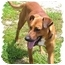 Photo 1 - Hound (Unknown Type)/Labrador Retriever Mix Dog for adoption in Peconic, New York - Charlie Brown