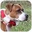 Photo 1 - Boxer/American Pit Bull Terrier Mix Dog for adoption in Staunton, Virginia - Shiripa