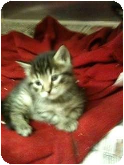 Domestic Shorthair Kitten for adoption in New Egypt, New Jersey - Tinker