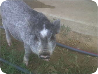 Pig (Potbellied) for adoption in Kaufman, Texas - Hope