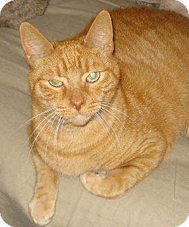 Domestic Shorthair Cat for adoption in Miami, Florida - Papi