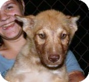 Husky Mix Puppy for adoption in Remlap, Alabama - Amber