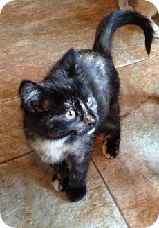Domestic Shorthair Kitten for adoption in Snohomish, Washington - Macy *pending adoption*