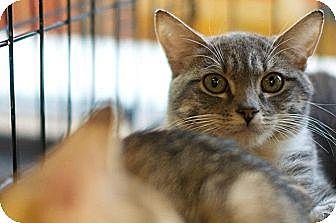 Domestic Shorthair Kitten for adoption in New York, New York - Jesi