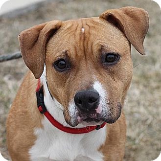 American Bulldog/Pit Bull Terrier Mix Dog for adoption in Springfield, Illinois - Gigi