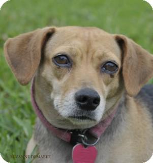 Beagle Mix Dog for adoption in Norwalk, Connecticut - Skittles - adoption pending