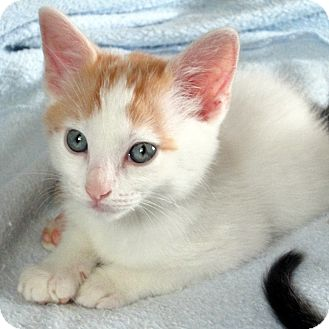 Domestic Shorthair Kitten for adoption in Columbia, Illinois - Alley