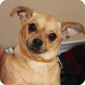 Chihuahua/Pug Mix Dog for adoption in Naperville, Illinois - Kimbella