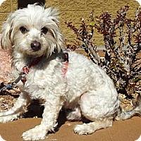 Adopt A Pet :: Kringle - Gilbert, AZ